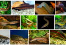 Хоботнорылые угри — Мастацембелусы и Макрогнатусы