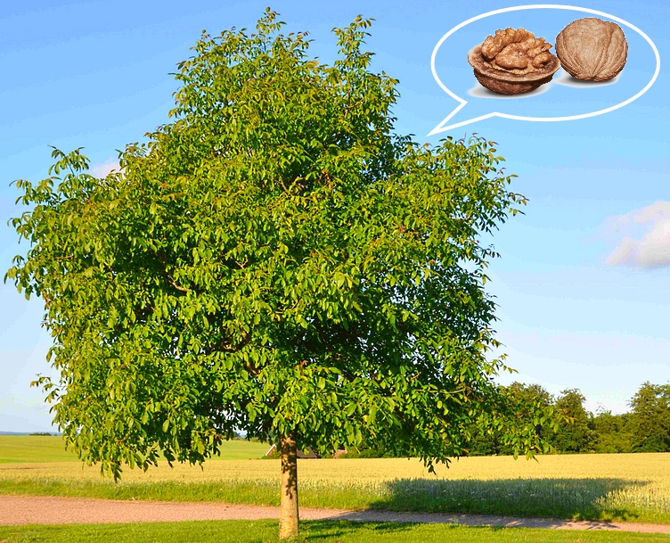 Дерево - грецкий орех