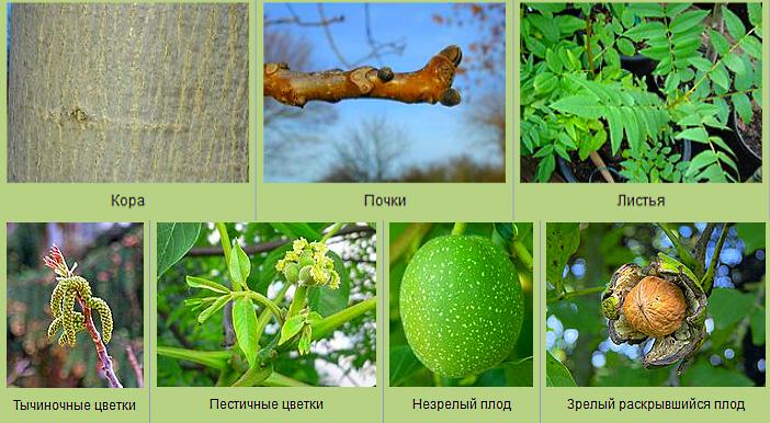 Кора, почки, цветы, плоды грецкий орех