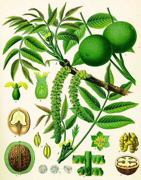 Орех грецкий - Juglans regia, плоды, листья, дерево