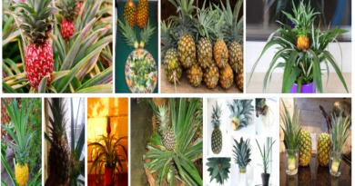 Разведение ананаса дома
