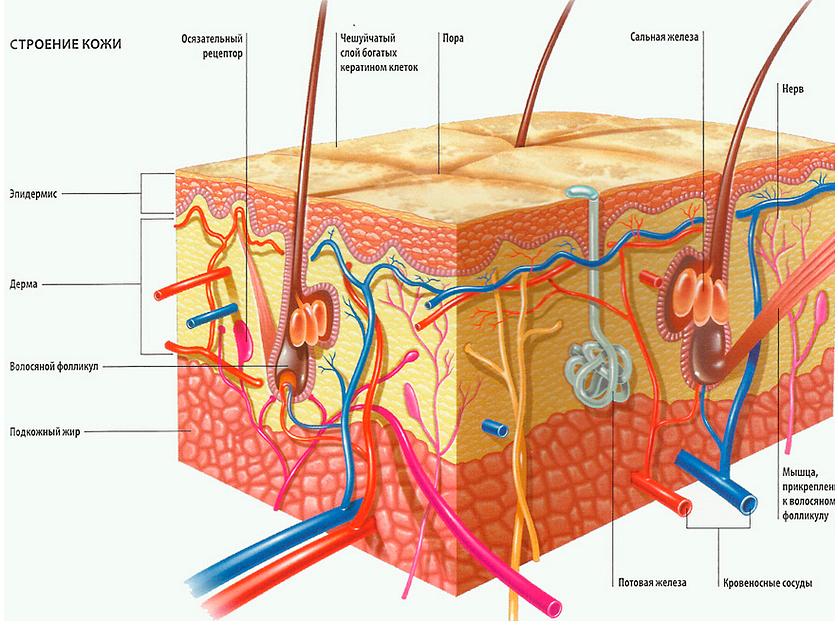 Строение кожи, структура